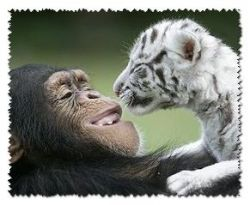 Two white tiger cubs find an unusual surrogate mum...Anjana the chimpanzee