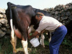 farmer-milking-cow-in-field